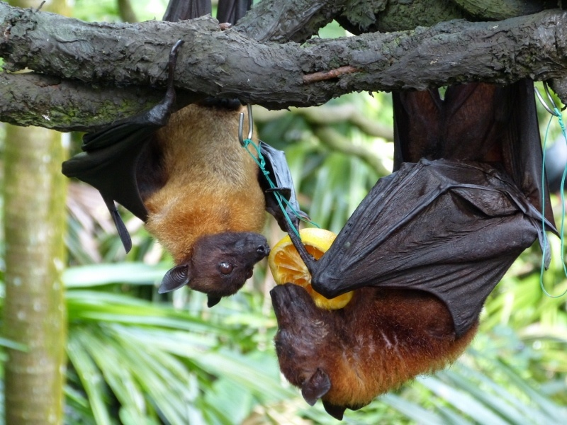 Fruit bats, Singapore Zoo