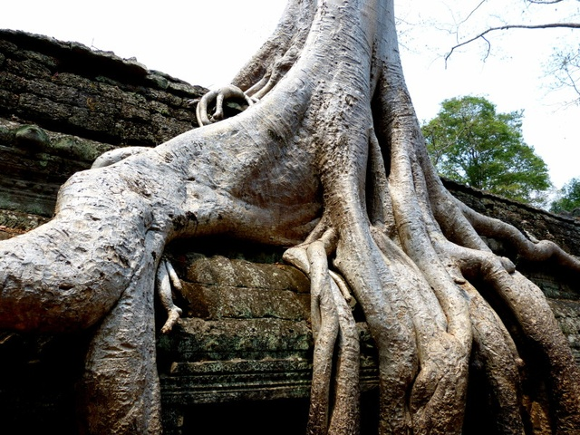 Tree growing over the temple ruins